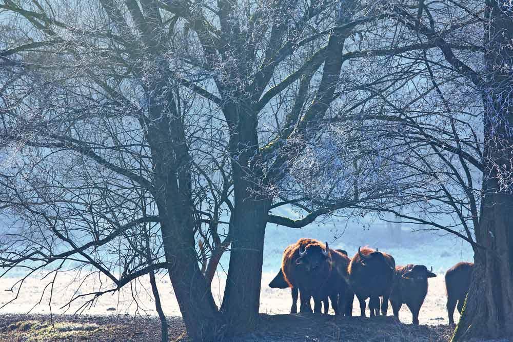 Foto Gruppe Ochsen von Planetpixl - Fotograf aus Bamberg